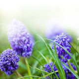 Flores do roxo da mola fotos de stock royalty free