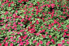 Flores do roxo de Impatiens Balsamina Foto de Stock Royalty Free