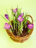 Flores do roxo do açafrão Imagens de Stock Royalty Free