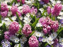 Flores do roxo e do rosa e as brancas da mola fotografia de stock