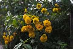 Flores do Rudbeckia Foto de Stock Royalty Free