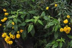 Flores do Rudbeckia Imagem de Stock