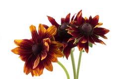 Flores do Rudbeckia Foto de Stock