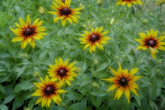 Flores do Rudbeckia entre as folhas verdes Foto de Stock Royalty Free