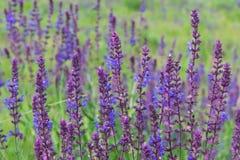 Flores do sábio selvagem Imagem de Stock Royalty Free