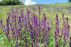 Flores do sábio selvagem Imagens de Stock