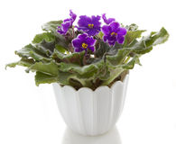 Flores do Saintpaulia Foto de Stock
