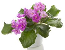 Flores do Saintpaulia fotografia de stock royalty free