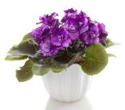 Flores do Saintpaulia fotos de stock royalty free