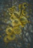Flores do salgueiro de bichano Foto de Stock