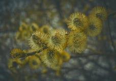 Flores do salgueiro de bichano Imagens de Stock