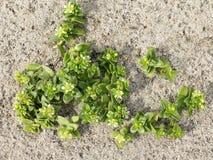 Flores do Sandwort do mar na praia, peploides de Honckenya imagens de stock royalty free