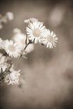 Flores do Sepia fotografia de stock