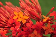 Flores do soka de Ixora coccinea/na natureza verde fotos de stock royalty free