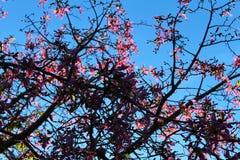 Flores do speciosa do Ceiba foto de stock royalty free