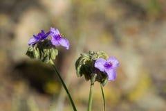Flores do Spiderwort e vagem gigantes da flor Imagem de Stock