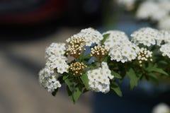 Flores do spirea de Reeves imagens de stock royalty free