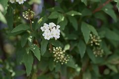 Flores do spirea de Reeves imagens de stock