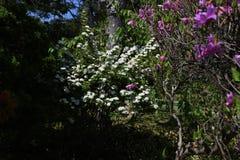Flores do spirea de Reeves fotografia de stock