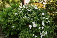 Flores do spirea de Reeves fotos de stock