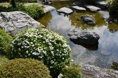 Flores do spirea de Reeves imagem de stock royalty free
