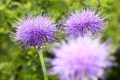 Flores do Thistle foto de stock