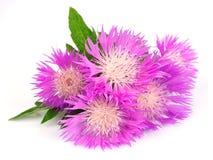 Flores do Thistle imagens de stock