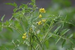 Flores do tomate com folhas e hastes Imagem de Stock Royalty Free