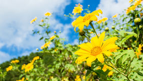 Flores do Tong de Thung Bua Imagem de Stock