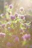 Flores do trevo no por do sol Foto de Stock