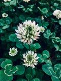 Flores do trevo fotos de stock royalty free