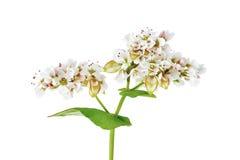 Flores do trigo mourisco Fotografia de Stock