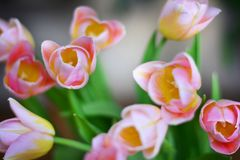 Flores do Tulip Fotografia de Stock Royalty Free
