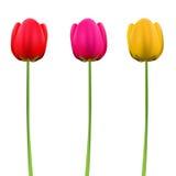 Flores do Tulip Fotografia de Stock
