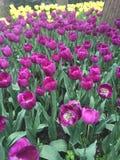 Flores do Tulip Foto de Stock Royalty Free