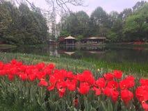 Flores do Tulip Fotos de Stock Royalty Free