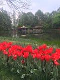 Flores do Tulip Fotos de Stock
