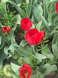 Flores do Tulip Imagem de Stock Royalty Free