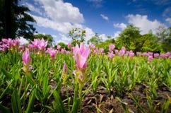 Flores do tulip de Sião no jardim Foto de Stock