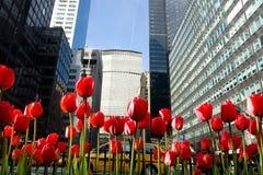 Flores do Tulip no parque de New York City imagem de stock royalty free