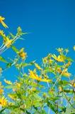 Flores do tupinambo No fundo do céu azul Imagem de Stock Royalty Free