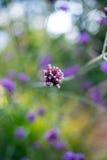 Flores do Verbena em um vaso fotografia de stock