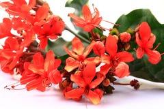 Flores do vermelho de Ixora Imagem de Stock Royalty Free