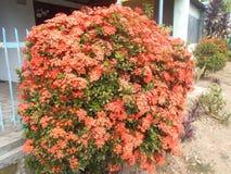 Flores do vermelho de Ixora Foto de Stock Royalty Free