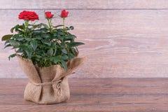 Flores do vermelho de Rosa Imagem de Stock