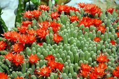 Flores do vermelho do cacto Imagem de Stock