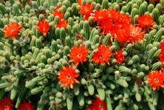 Flores do vermelho do cacto Foto de Stock Royalty Free