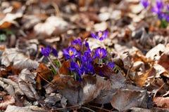 Flores do vernus do açafrão do açafrão da mola Imagens de Stock Royalty Free