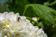 Flores do Viburnum na mola com mosca Imagens de Stock