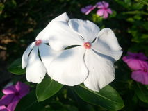 Flores do Vinca Fotos de Stock Royalty Free